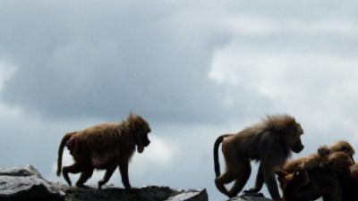 Herpes besmette apen vinden onderkomen bij Stichting AAP