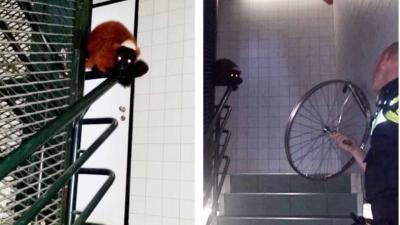 Ontsnapte aap Amsterdam door politie 'staande' gehouden