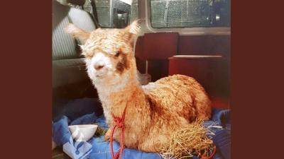 Politie Haarlem vangt gevonden Alpaca op in politiebusje
