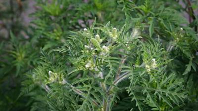 NVWA roept iedereen op om Ambrosiaplant uit te roeien
