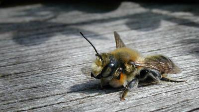 Amsterdamse bijen en vlinders gedijen goed tegen de trend in