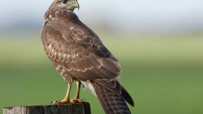 Agressieve buizerd Burdaard in Friese Burdaard