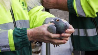 Duif uit ondergrondse vuilcontainer gered