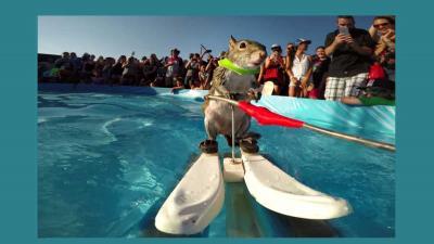 Eekhoorn maakt zich niet druk om de warmte en gaat waterskiën