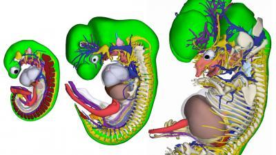 Unieke 3D-atlas van groeiend embryo