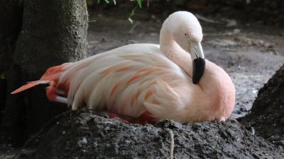 flamingo, broeden, ei, dierenpark, amersfoort