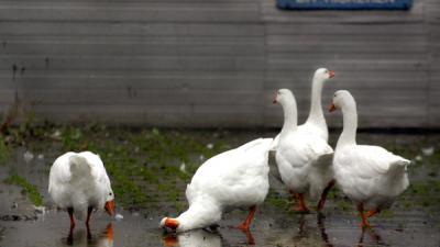 Overijssel moet gevolgen ganzenafschot alsnog onderzoeken