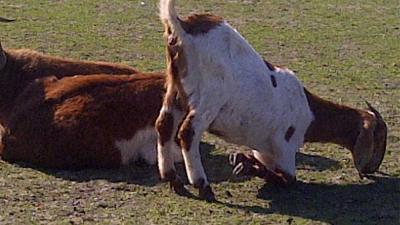 Foto van geit knielend eten | Politie