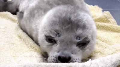 Te vroeg geboren zeehondepup 'Gijsje' overleden