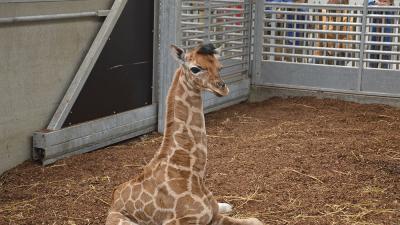 Giraf geboren in Safaripark Beekse Bergen