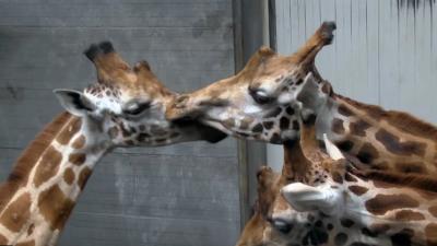 Twee nieuwe giraffen voor DierenPark Amersfoort