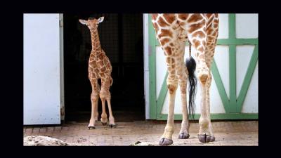 Pasgeboren girafje zet eerste stapjes buiten