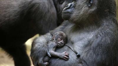 gorilla-artis