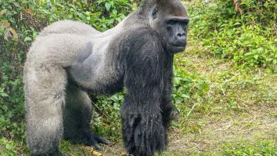 Gorillavrouwen tijdelijk aan de pil om nieuwe leider Bao Bao uit Taiwan