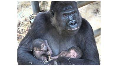 Foto van gorilla tweeling | Burgers' Zoo