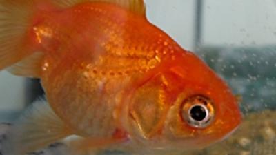 Foto van goudvis | freeimages