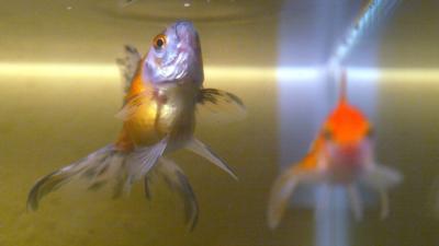 Robotvis vervangt echte goudvis in Japan