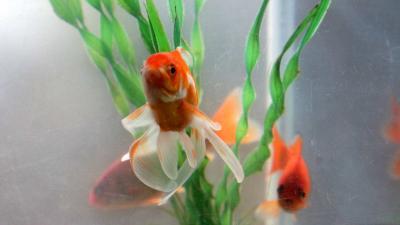 Klas mag goudvissen niet 'houden' van visbescherming