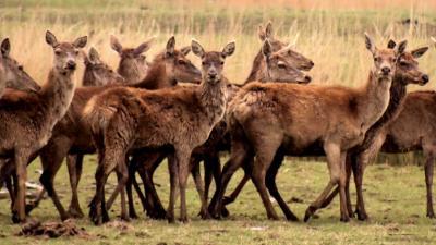 'Afschieten 'overschot' aan dieren Oostvaardersplassen in strijd met wet'