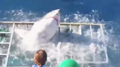 Witte haai breekt door kooi en zit samen met toerist klem