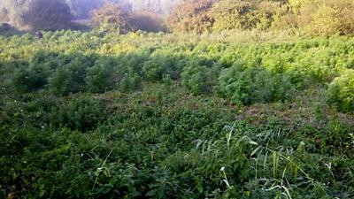 Duizend rijpe hennepplanten gevonden in natuurgebied Willemstad