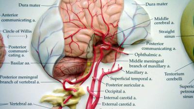 Oorzaak ontdekt voor zuurstofgevoeligheid van het brein