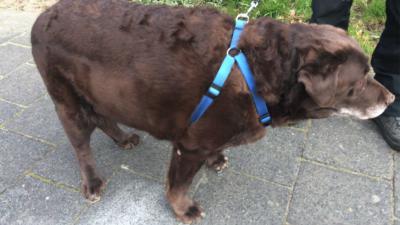 hond-zwaar-gewicht