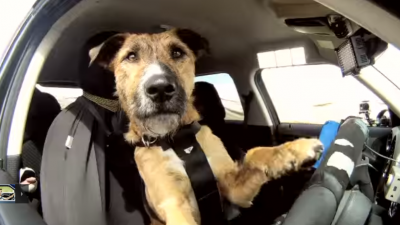 Hond rijdt in auto rond