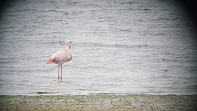 Flamingo nabij Texel