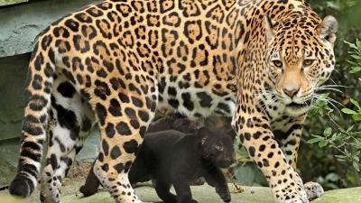 Eerste stapjes jaguarwelpen in buitenverblijf ARTIS