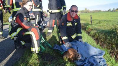 Brandweer redt kalf uit sloot
