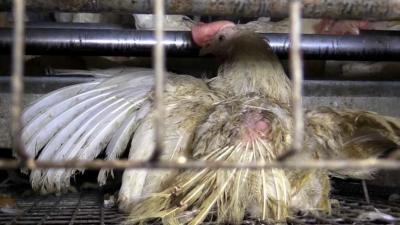 Animal Rights toont opnieuw schokkende beelden dierenleed in België