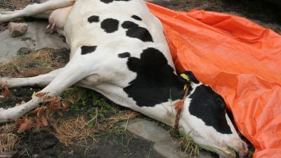 Vijf koeien overleven aanrijding met trein niet