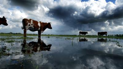 foto van koe in Nederlandse landschap