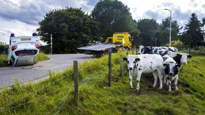 koeien-auto-kop