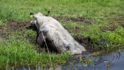 Koe maakt plons in sloot en klimt er zelf weer uit