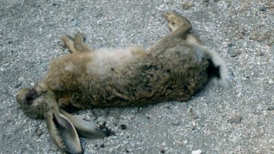 Meldingen over acute sterfte onder konijnen