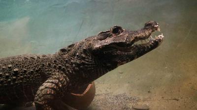 krokodil-DierenPark-Amersfoort