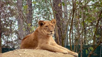 'Man probeert zelfmoord te plegen door in leeuwenverblijf te klimmen'