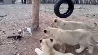 Klein hondje bijt goed van zich af tegenover drie leeuwen