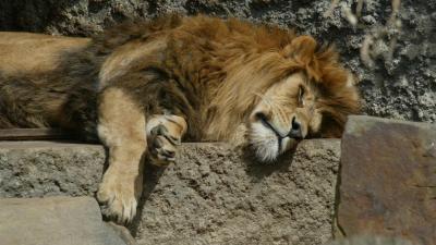 Iconische leeuw overleden in ARTIS