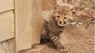 Pasgeboren vijfling jachtluipaardjes voor het eerst naar buiten