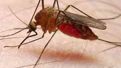 Foto van malaria mug | RadboudUMC