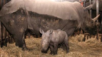 'Nederlandse' neushoorn in Franse dierentuin afgeslacht voor hoorn