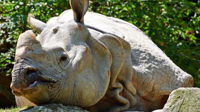 Indische neushoorn Zimon overleden in DierenPark Amersfoort