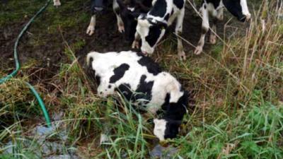 Veel verwaarloosde dieren aangetroffen bij melkveehouder in Noord-Brabant
