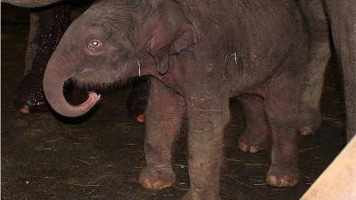 Olifantenjong geboren in Dierenpark Emmen
