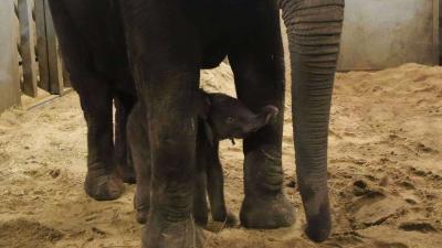 Olifantenjong dood na aanval door moeder