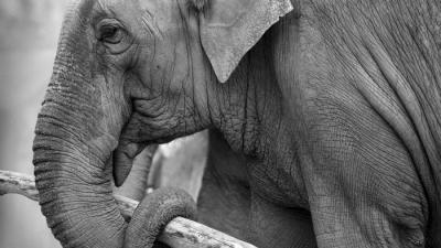 Foto van olifant   Sxc
