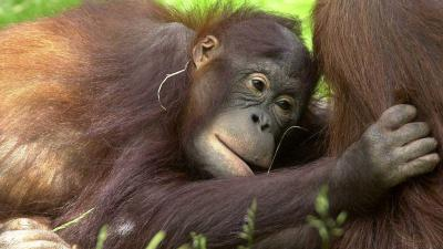 Orang-Oetan in Apenheul op onverklaarbare wijze verdronken